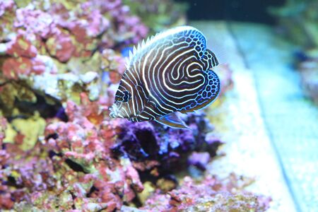 pomacanthus: Emperor angelfish (Pomacanthus imperator) young fish