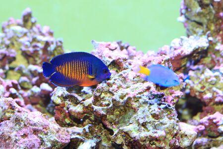 angelfish: Twospined Angelfish (Centropyge bispinosa) in Japan