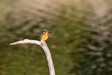 alcedo: Common Kingfisher (Alcedo atthis)