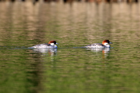 wildfowl: Smew (Mergus albellus) female in Japan Stock Photo