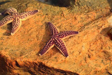 seastar: Northern Pacific seastar (Asterias amurensis) in Japan