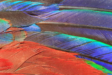 macao: Scarlet Macaw feather (Ara macao) close up