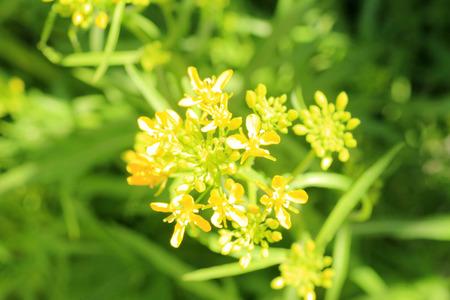 potherb: Potherb flor de mostaza (Brassica japonica) en Jap�n