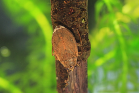 ferocious: Ferocious water bug (Appasus japonicus) in Japan Stock Photo