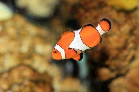 false percula: Ocellaris clownfish (Amphiprion ocellaris) in Japan