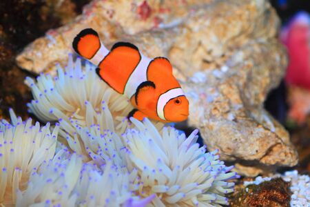 amphiprion: Ocellaris clownfish (Amphiprion ocellaris) in Japan