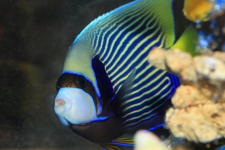 pomacanthus imperator: Angelfish (Pomacanthus imperator) in Giappone