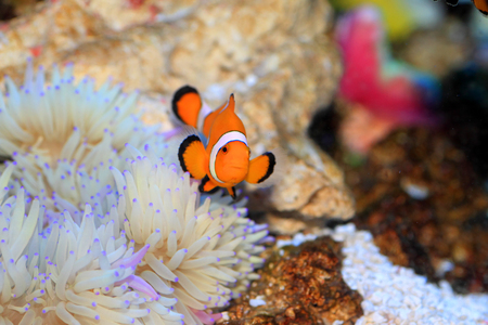 amphiprion ocellaris: Ocellaris clownfish (Amphiprion ocellaris) in Japan