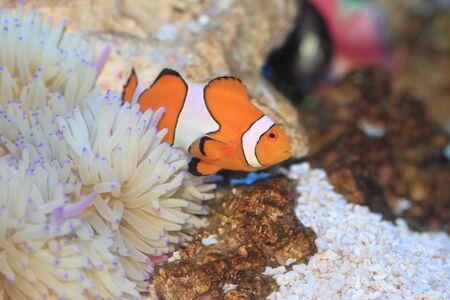 percula: Ocellaris clownfish (Amphiprion ocellaris) in Japan