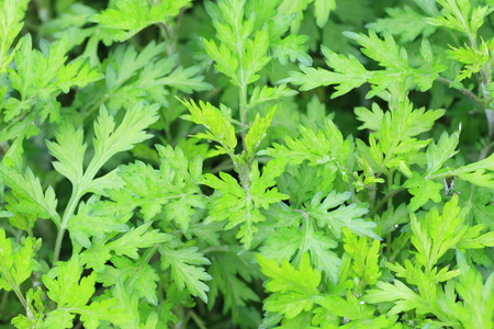 Mugwort (Artemisia indica) in Japan