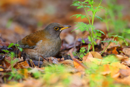 thrush: Pale Thrush (Turdus pallidus) in Japan