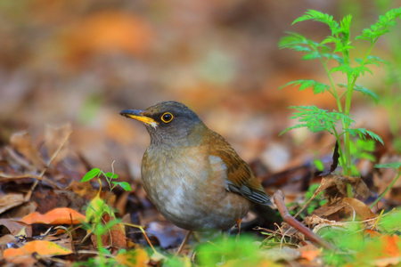 turdus: Pale Thrush (Turdus pallidus) in Japan