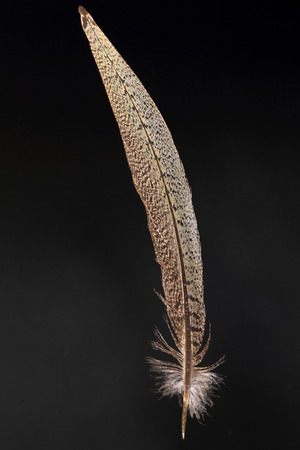 versicolor: Tail feather of Japanese Pheasant (Phasianus versicolor)