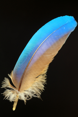 parrot tail: feather of Blue-and-yellow Macaw (Ara ararauna) Stock Photo