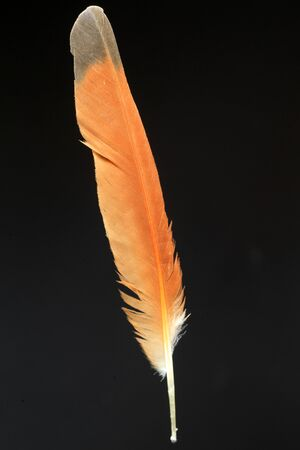 カンムリカッコウ (Clamator coromandus) の羽 写真素材