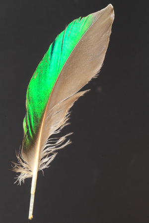 lapwing: feather of Northern Lapwing (Vanellus vanellus)
