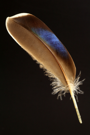 anas: feather of Eastern Spot-billed Duck (Anas zonorhyncha)