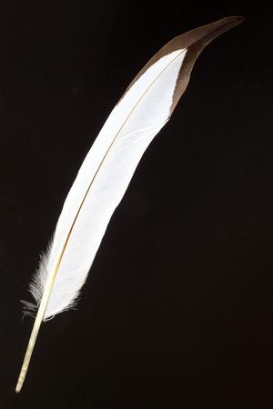 jacana: feather of Pheasant-tailed Jacana (Hydrophasianus chirurgus)