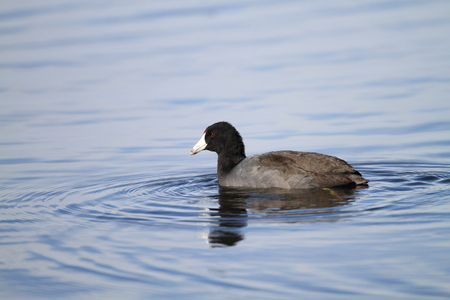 fulica: American Coot (Fulica americana) in Florida, North America Stock Photo