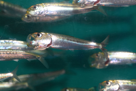 engraulis: Japanese anchovy (Engraulis japonicus) in Japan Stock Photo