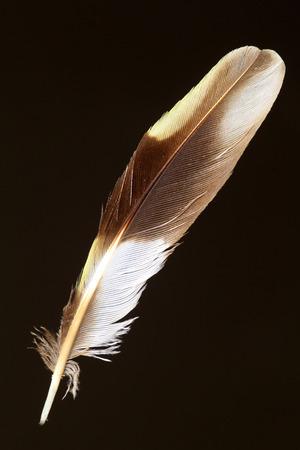 フォレスト鶺鴒 Dendronanthus indicus の羽