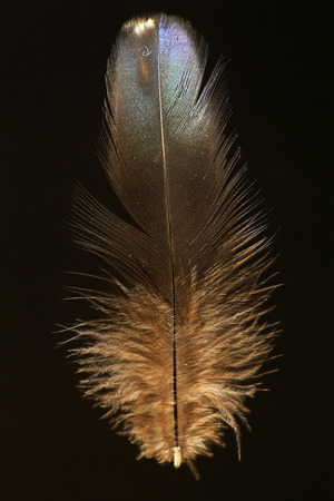 versicolor: Feather of Japanese Green Pheasant Phasianus versicolor
