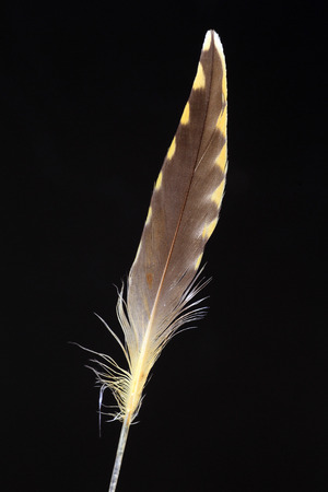 pluvialis: Feather of Pacific Golden Plover Pluvialis fulva