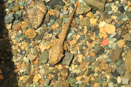 tadpole: Tadpole of Montane brown frog Rana ornativentris in Japan