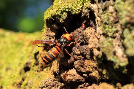 poisonous insect: Japanese giant hornet mandarinia in Japan