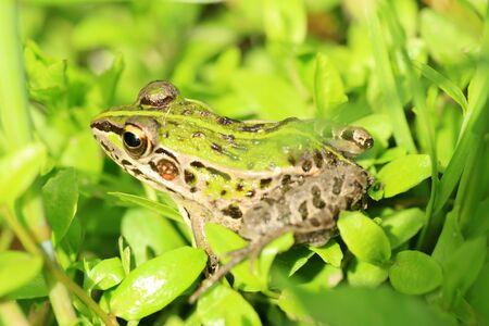blackspotted: Blackspotted Pond Frog Pelophylax nigromaculatus in Japan