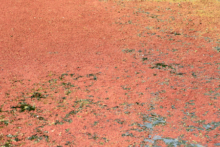 Japanese red duckweed Azolla japonica in Japan Stock Photo