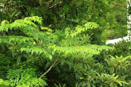 aralia: Japanese angelicatree Aralia elata in Japan
