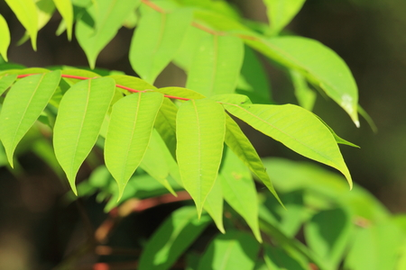 lacquer: Japanese lacquer tree Toxicodendron vernicifluum in Japan