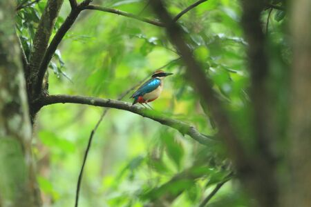 nympha: Fairy Pitta Pitta nympha in Taiwan