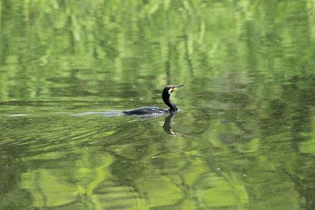 carbo: Great Cormorant Phalacrocorax carbo in Japan