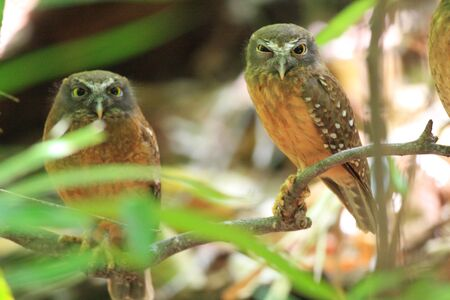sulawesi: Ochrebellied Boobook Ninox ochracea in Sulawesi Indonesia Stock Photo