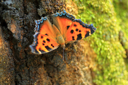 nymphalis: Scarce tortoiseshell Nymphalis xanthomelas in Japan Stock Photo