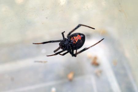 araneae: Redback widow spider Latrodectus hasseltii in Japan