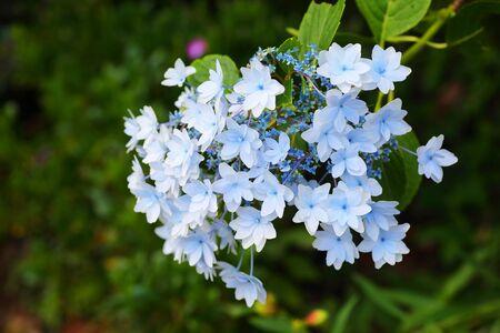 hydrangea macrophylla: lacecap hydrangea Hydrangea macrophylla normalis in Japan