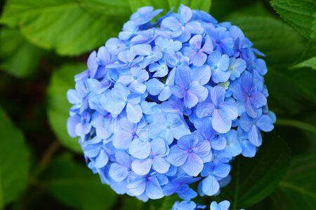 hydrangea macrophylla: French hydrangea Hydrangea macrophylla in Japan