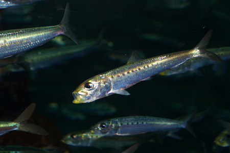engraulis: Japanese anchovy Engraulis japonicus in Japan