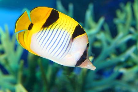 butterflyfish: The vagabond butterflyfish Chaetodon vagabundus in Japan Stock Photo