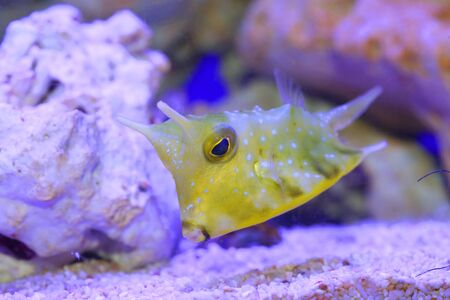 longhorn: Longhorn cowfish Lactoria cornuta in Japan Stock Photo