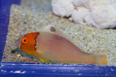 ocellatus: Bicolor Parrotfish Cetoscarus ocellatus in Japan