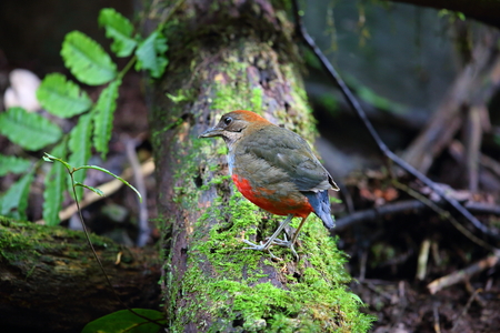 kochi: Whiskered Pitta Erythropitta kochi in Luzon, Philippines