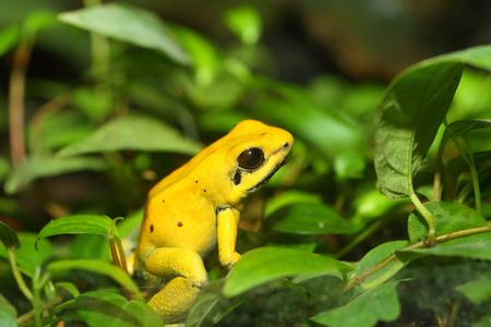 poison frog: Golden poison frog Phyllobates terribilis Stock Photo
