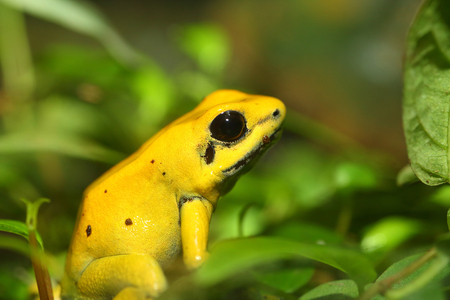 Golden poison frog Phyllobates terribilis 版權商用圖片