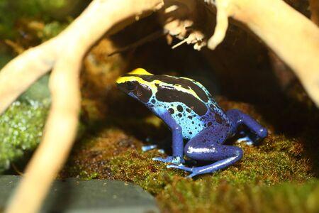 dart frog: Dyeing poison dart frog Dendrobates tinctorius