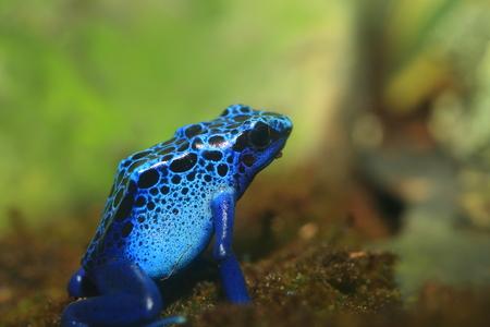 dart frog: Blue Poison Dart Frog Dendrobates azureus