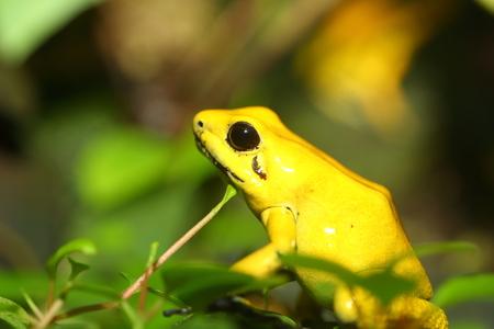 poison frog: Rana venenosa de Oro Phyllobates terribilis